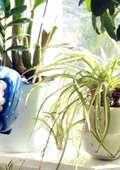 Plante cu noroc la bani! Flori și plante de apartament cu bun Feng Shui