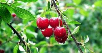 Proprietățile incredibile a celor mai iubite fructe - cireșele