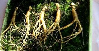Ginsengul - planta minune cu proprietăți medicinale excepționale